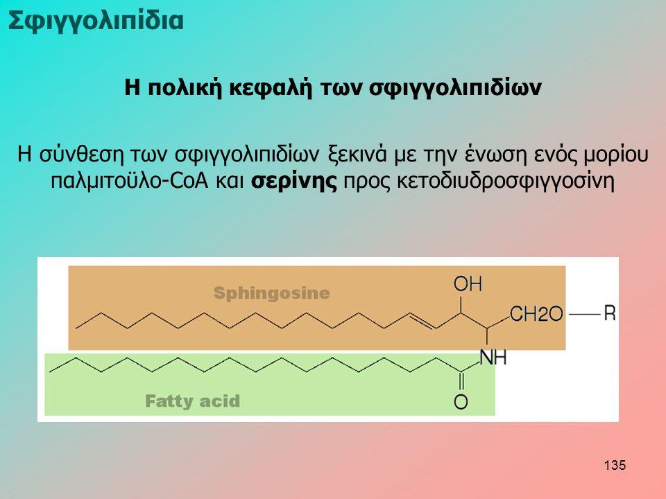 Η πολική κεφαλή των σφιγγολιπιδίων Η σύνθεση των σφιγγολιπιδίων ξεκινά με την ένωση ενός μορίου παλμιτοϋλο-CoA και σερίνης προς κετοδιυδροσφιγγοσίνη Σφιγγολιπίδια 135