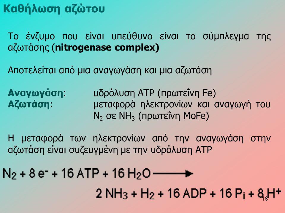 Το ένζυμο που είναι υπεύθυνο είναι το σύμπλεγμα της αζωτάσης (nitrogenase complex) Αποτελείται από μια αναγωγάση και μια αζωτάση Αναγωγάση: υδρόλυση ΑΤΡ (πρωτεΐνη Fe) Αζωτάση: μεταφορά ηλεκτρονίων και αναγωγή του N 2 σε NH 3 (πρωτεΐνη MoFe) Η μεταφορά των ηλεκτρονίων από την αναγωγάση στην αζωτάση είναι συζευγμένη με την υδρόλυση ΑΤΡ Καθήλωση αζώτου 18