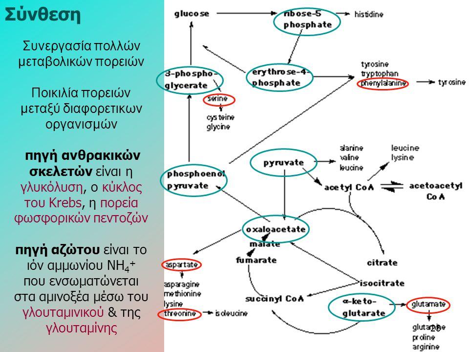 Συνεργασία πολλών μεταβολικών πορειών Ποικιλία πορειών μεταξύ διαφορετικων οργανισμών πηγή ανθρακικών σκελετών είναι η γλυκόλυση, ο κύκλος του Κrebs, η πορεία φωσφορικών πεντοζών πηγή αζώτου είναι το ιόν αμμωνίου ΝΗ 4 + που ενσωματώνεται στα αμινοξέα μέσω του γλουταμινικού & της γλουταμίνης Σύνθεση 23