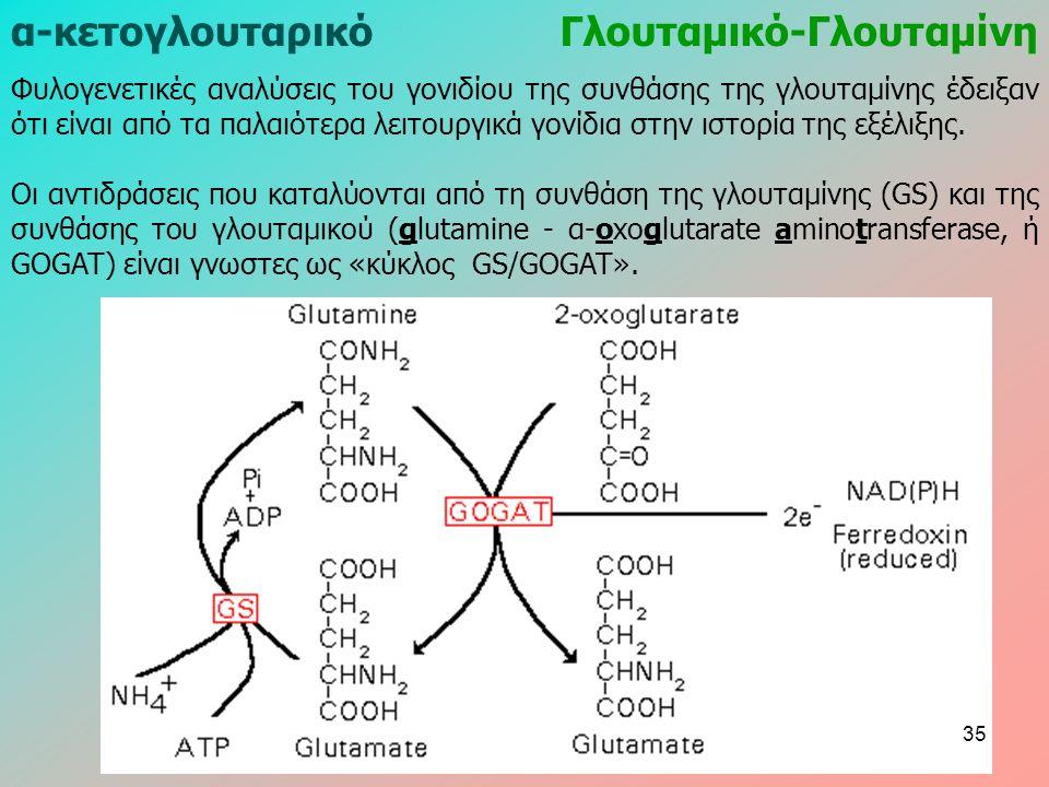 α-κετογλουταρικόΓλουταμικό-Γλουταμίνη Φυλογενετικές αναλύσεις του γονιδίου της συνθάσης της γλουταμίνης έδειξαν ότι είναι από τα παλαιότερα λειτουργικά γονίδια στην ιστορία της εξέλιξης.