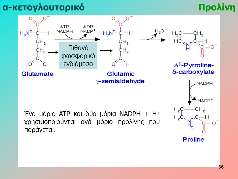 Προλίνηα-κετογλουταρικό Ένα μόριο ATP και δύο μόρια NADPH + H + χρησιμοποιούνται ανά μόριο προλίνης που παράγεται. Πιθανό φωσφορικό ενδιάμεσο 36