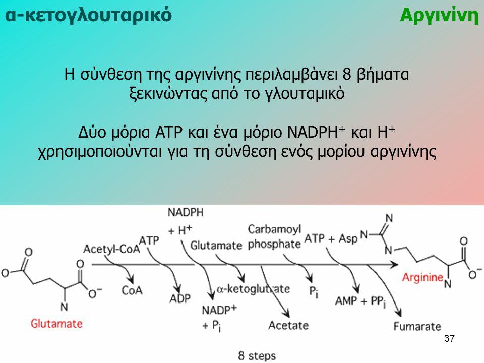 Αργινίνηα-κετογλουταρικό Η σύνθεση της αργινίνης περιλαμβάνει 8 βήματα ξεκινώντας από το γλουταμικό Δύο μόρια ATP και ένα μόριο NADPH + και H + χρησιμοποιούνται για τη σύνθεση ενός μορίου αργινίνης 37