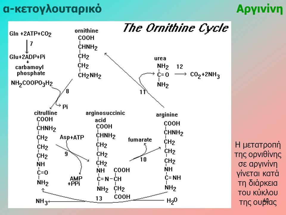 α-κετογλουταρικόΑργινίνη Η μετατροπή της ορνιθίνης σε αργινίνη γίνεται κατά τη διάρκεια του κύκλου της ουρίας 40