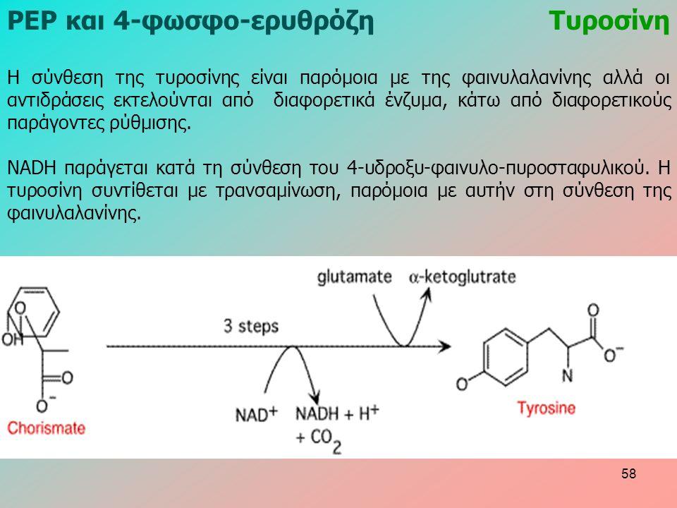 ΡΕΡ και 4-φωσφο-ερυθρόζηΤυροσίνη Η σύνθεση της τυροσίνης είναι παρόμοια με της φαινυλαλανίνης αλλά οι αντιδράσεις εκτελούνται από διαφορετικά ένζυμα, κάτω από διαφορετικούς παράγοντες ρύθμισης.