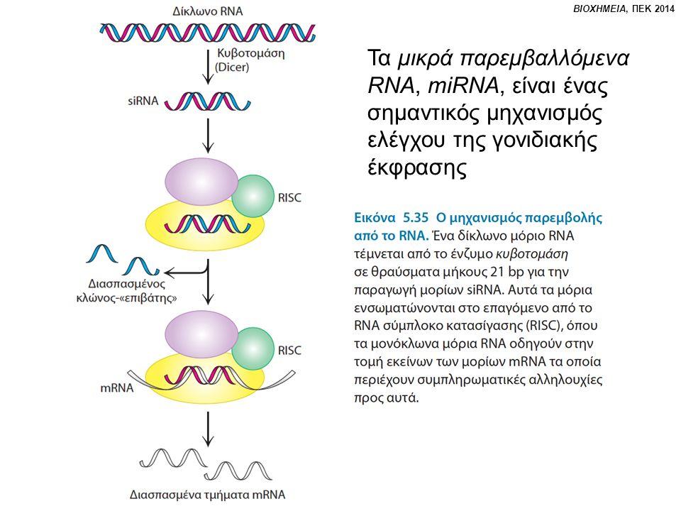 Τα μικρά παρεμβαλλόμενα RNA, miRNA, είναι ένας σημαντικός μηχανισμός ελέγχου της γονιδιακής έκφρασης