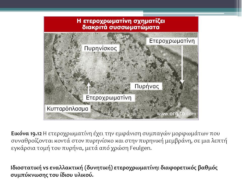 Εικόνα 19.12 Η ετεροχρωματίνη έχει την εμφάνιση συμπαγών μορφωμάτων που συναθροίζονται κοντά στον πυρηνίσκο και στην πυρηνική μεμβράνη, σε μια λεπτή εγκάρσια τομή του πυρήνα, μετά από χρώση Feulgen.