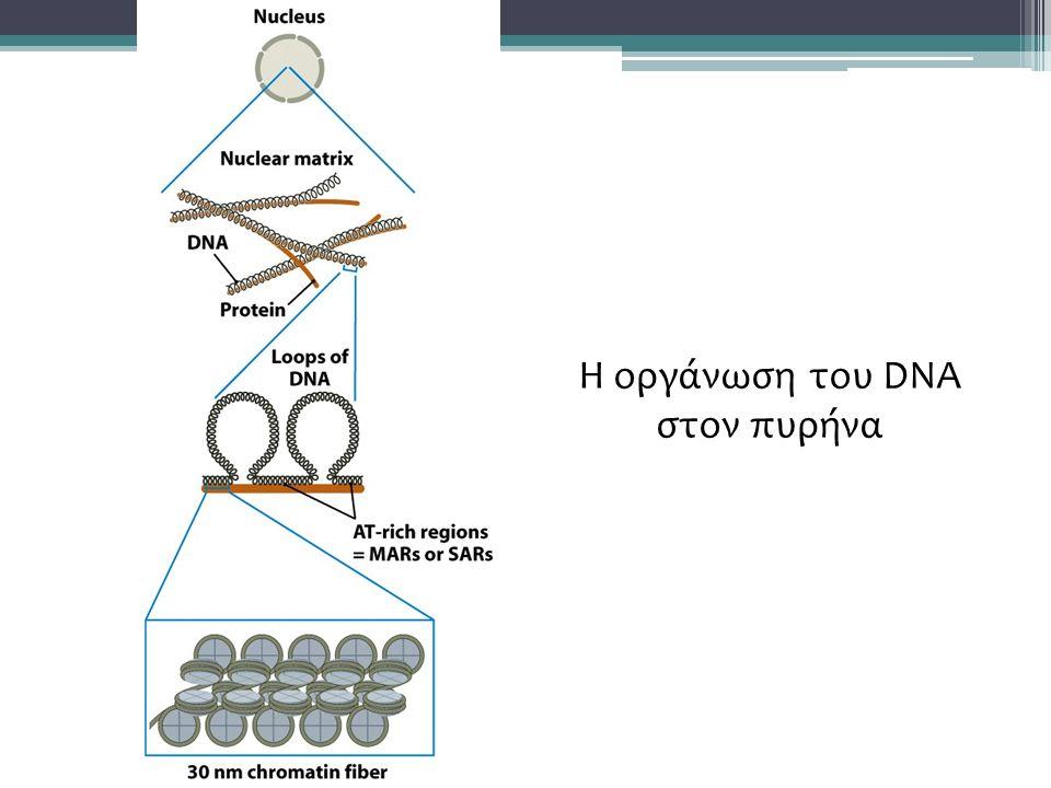 Η οργάνωση του DNA στον πυρήνα