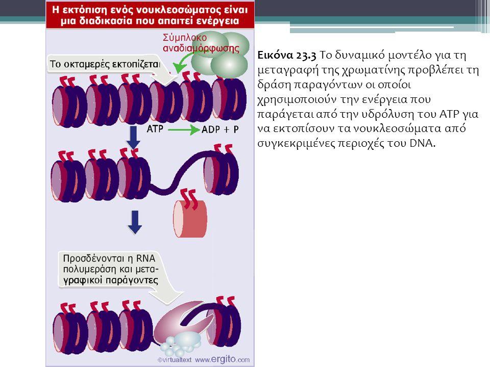 Εικόνα 23.3 Το δυναμικό μοντέλο για τη μεταγραφή της χρωματίνης προβλέπει τη δράση παραγόντων οι οποίοι χρησιμοποιούν την ενέργεια που παράγεται από την υδρόλυση του ATP για να εκτοπίσουν τα νουκλεοσώματα από συγκεκριμένες περιοχές του DNA.