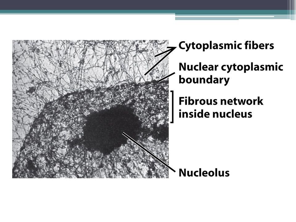 Μικροσκοπία με χρήση φθοριζόντων δεικτών ▫ Αποκάλυψη περιοχών του πυρήνα που διενεργούνται συγκεκριμένες βιοχημικές αντιδράσεις  Πυρηνίσκος (σύνθεση και επεξεργασία μορίων rRNA)  Σωμάτια Cajal (σύνθεση μικρών πυρηνικών RNA) Πυρηνίσκοι Σωμάτια Cajal Θέσεις πρωτεϊνών που εμπλέκονται στο μάτισμα του RNA