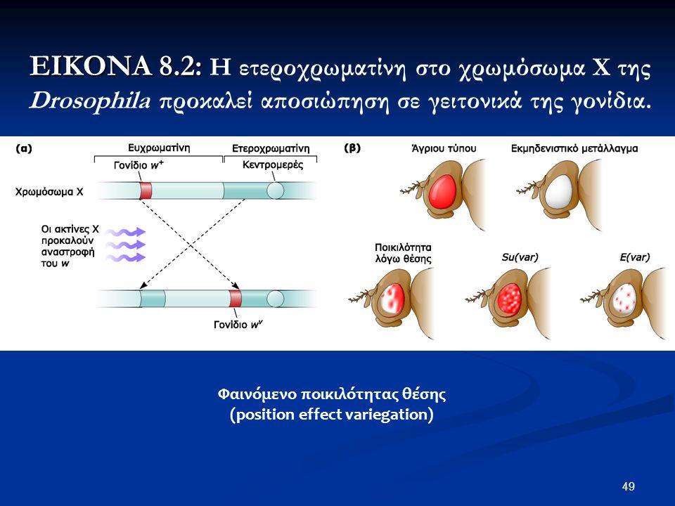 49 ΕΙΚΟΝΑ 8.2: ΕΙΚΟΝΑ 8.2: Η ετεροχρωματίνη στο χρωμόσωμα Χ της Drosophila προκαλεί αποσιώπηση σε γειτονικά της γονίδια.