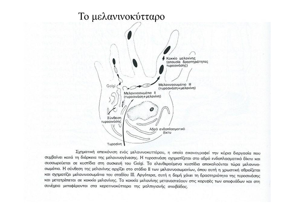 Το μελανινοκύτταρο