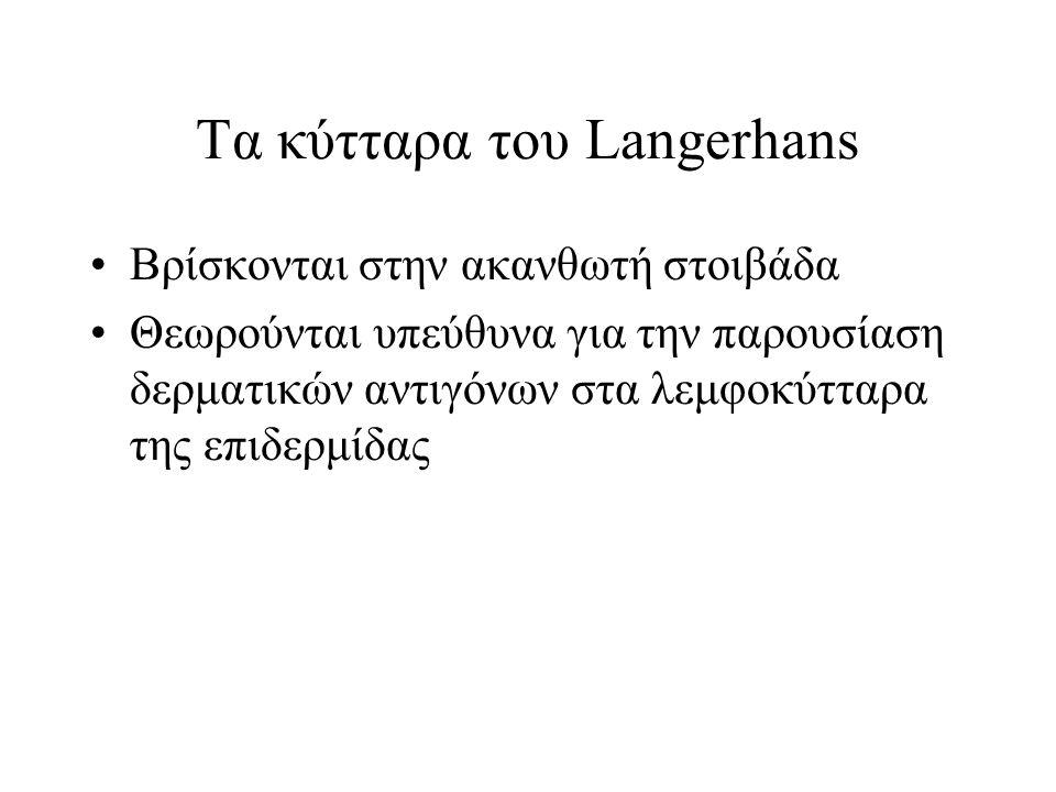 Τα κύτταρα του Langerhans Βρίσκονται στην ακανθωτή στοιβάδα Θεωρούνται υπεύθυνα για την παρουσίαση δερματικών αντιγόνων στα λεμφοκύτταρα της επιδερμίδας