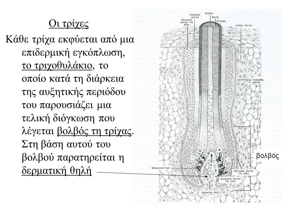 Οι τρίχες Κάθε τρίχα εκφύεται από μια επιδερμική εγκόπλωση, το τριχοθυλάκιο, το οποίο κατά τη διάρκεια της αυξητικής περιόδου του παρουσιάζει μια τελική διόγκωση που λέγεται βολβός τη τρίχας.