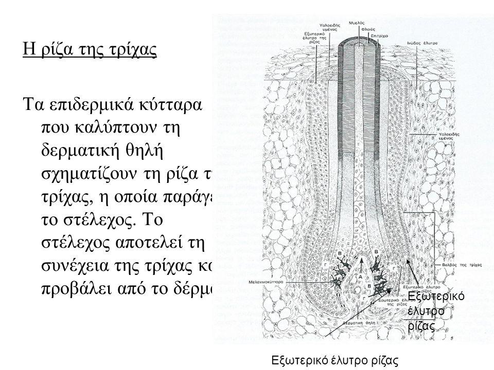 Η ρίζα της τρίχας Τα επιδερμικά κύτταρα που καλύπτουν τη δερματική θηλή σχηματίζουν τη ρίζα της τρίχας, η οποία παράγει το στέλεχος.