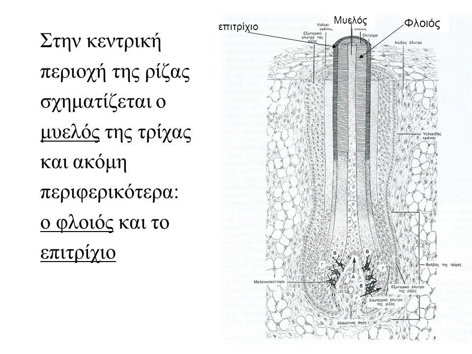 Στην κεντρική περιοχή της ρίζας σχηματίζεται ο μυελός της τρίχας και ακόμη περιφερικότερα: ο φλοιός και το επιτρίχιο Μυελός Φλοιός επιτρίχιο