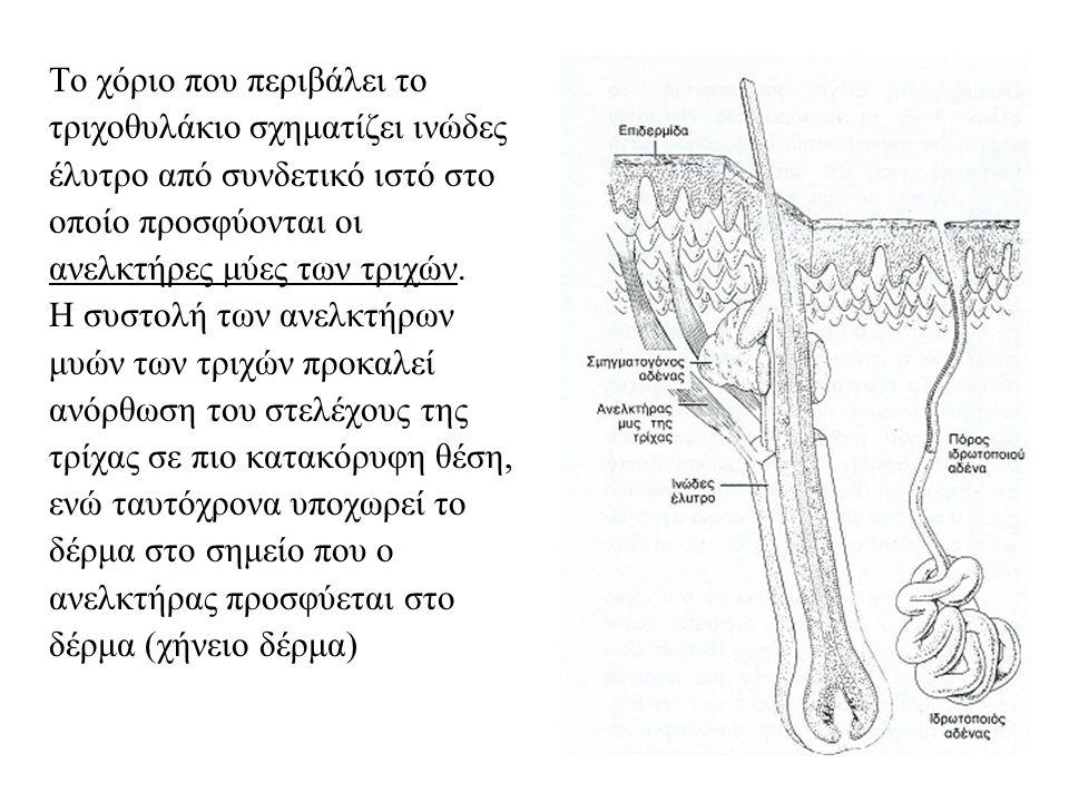 Το χόριο που περιβάλει το τριχοθυλάκιο σχηματίζει ινώδες έλυτρο από συνδετικό ιστό στο οποίο προσφύονται οι ανελκτήρες μύες των τριχών.