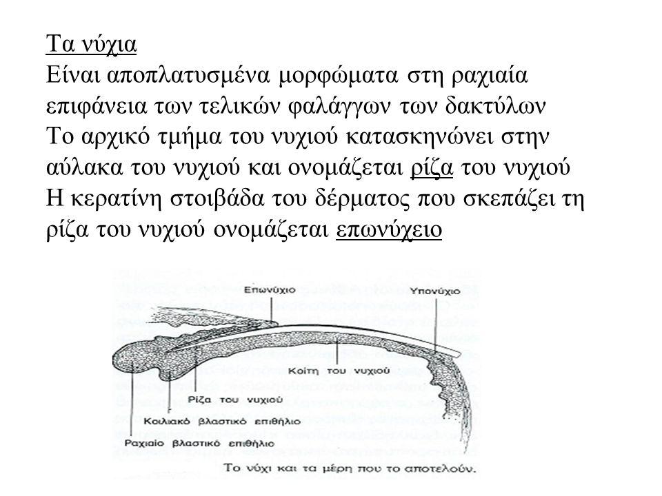 Τα νύχια Είναι αποπλατυσμένα μορφώματα στη ραχιαία επιφάνεια των τελικών φαλάγγων των δακτύλων Το αρχικό τμήμα του νυχιού κατασκηνώνει στην αύλακα του νυχιού και ονομάζεται ρίζα του νυχιού Η κερατίνη στοιβάδα του δέρματος που σκεπάζει τη ρίζα του νυχιού ονομάζεται επωνύχειο