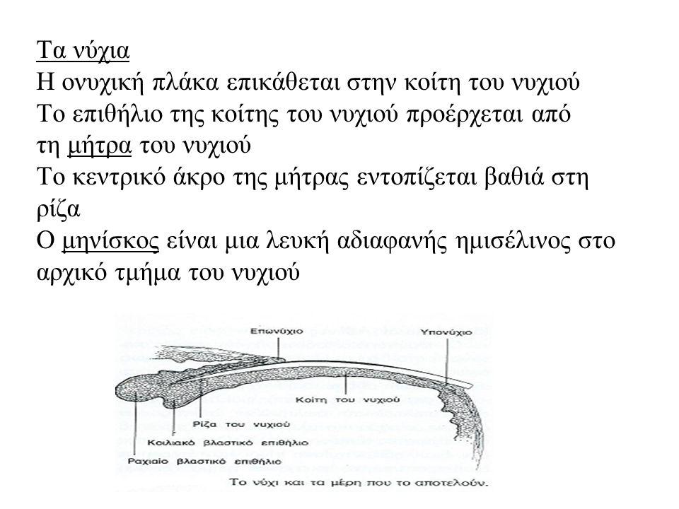 Τα νύχια Η ονυχική πλάκα επικάθεται στην κοίτη του νυχιού Το επιθήλιο της κοίτης του νυχιού προέρχεται από τη μήτρα του νυχιού Το κεντρικό άκρο της μήτρας εντοπίζεται βαθιά στη ρίζα Ο μηνίσκος είναι μια λευκή αδιαφανής ημισέλινος στο αρχικό τμήμα του νυχιού