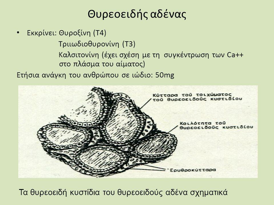 Θυρεοειδής αδένας Εκκρίνει: Θυροξίνη (Τ4) Τριιωδιοθυρονίνη (Τ3) Καλσιτονίνη (έχει σχέση με τη συγκέντρωση των Ca++ στο πλάσμα του αίματος) Ετήσια ανάγκη του ανθρώπου σε ιώδιο: 50mg Τα θυρεοειδή κυστίδια του θυρεοειδούς αδένα σχηματικά