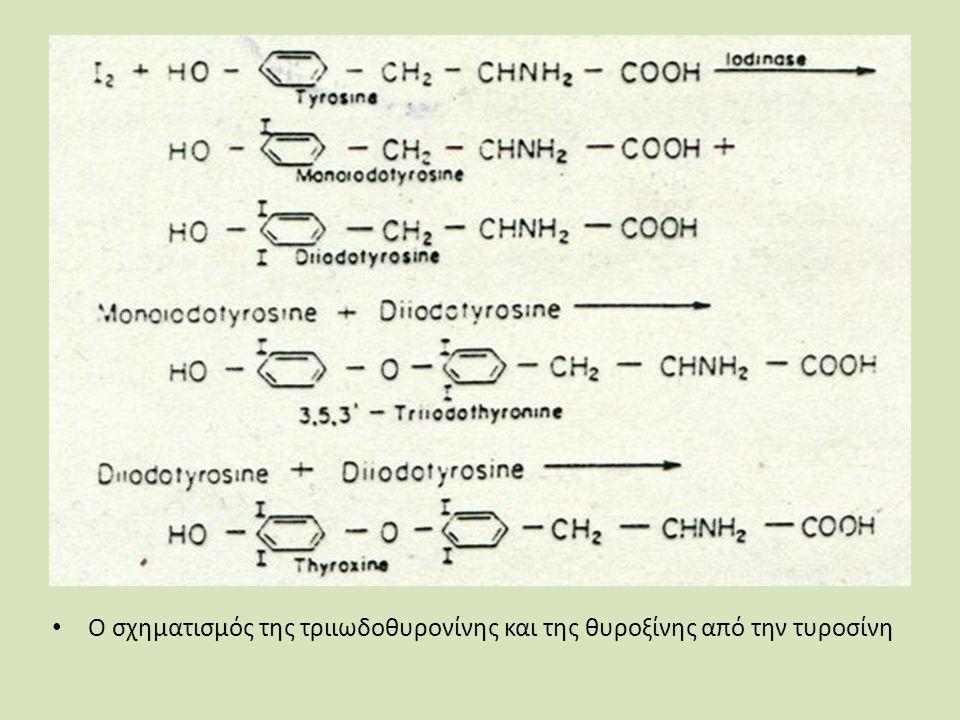 Ο σχηματισμός της τριιωδοθυρονίνης και της θυροξίνης από την τυροσίνη