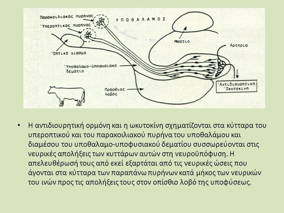 Οι απελευθερωτικοί και ο ανασταλτικός παράγοντας του υποθαλάμου που ελέγχουν την έκκριση της αδενοϋποφύσεως: GRF (Growth hormone releasing factor).