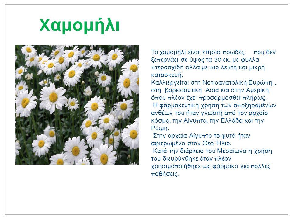 X αμομήλι Το χαμομήλι είναι ετήσιο π οώδες, π ου δεν ξε π ερνάει σε ύψος τα 30 εκ.