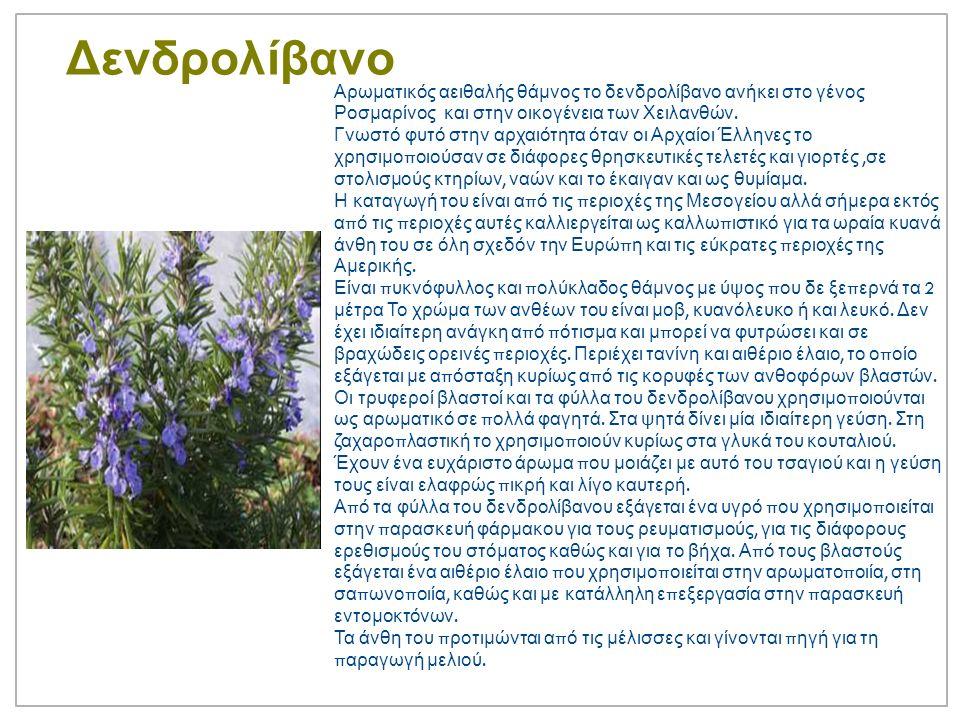 Δενδρολίβανο Αρωματικός αειθαλής θάμνος το δενδρολίβανο ανήκει στο γένος Ροσμαρίνος και στην οικογένεια των Χειλανθών.