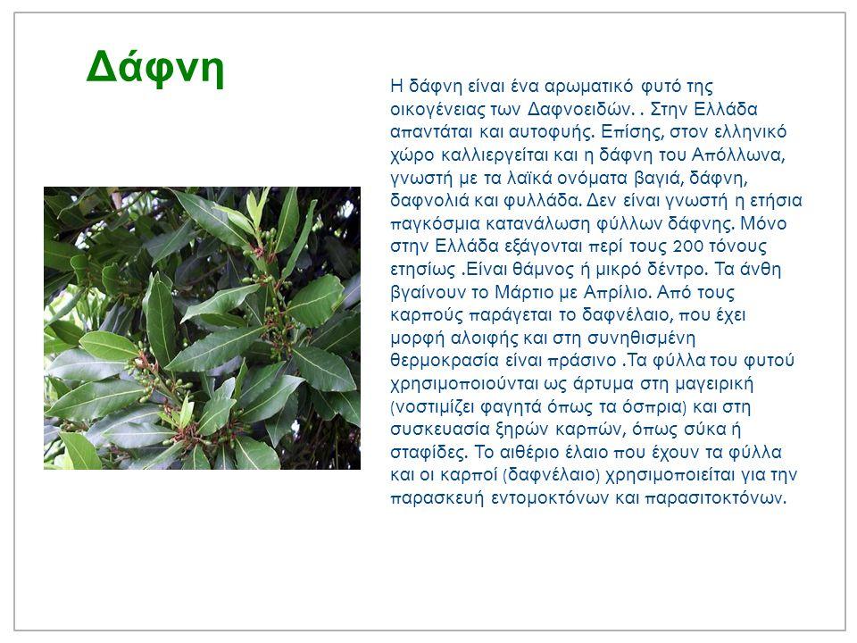 Δάφνη Η δάφνη είναι ένα αρωματικό φυτό της οικογένειας των Δαφνοειδών..