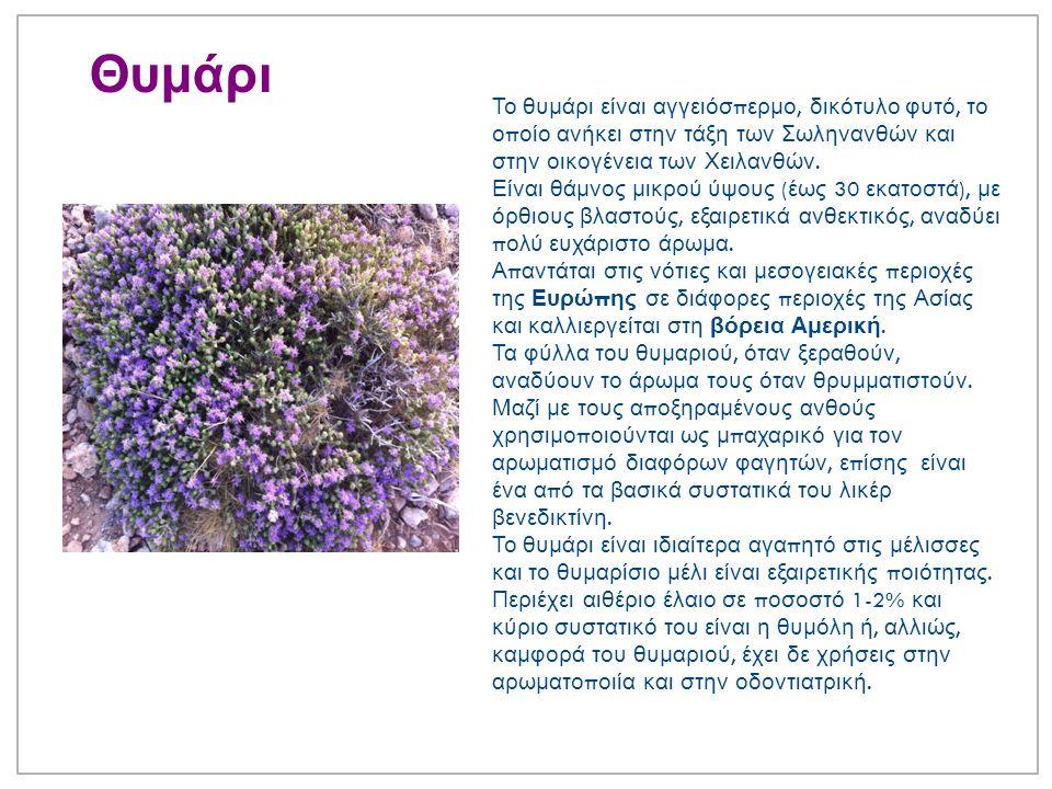 Θυμάρι Το θυμάρι είναι αγγειόσ π ερμο, δικότυλο φυτό, το ο π οίο ανήκει στην τάξη των Σωληνανθών και στην οικογένεια των Χειλανθών.
