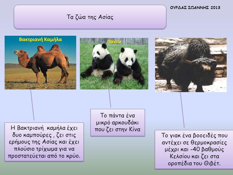 Τα ζώα της Ασίας Η Βακτριανή καμήλα έχει δυο καμπούρες, ζει στις ερήμους της Ασίας και έχει πλούσιο τρίχωμα για να προστατεύεται από το κρύο. Το πάντα