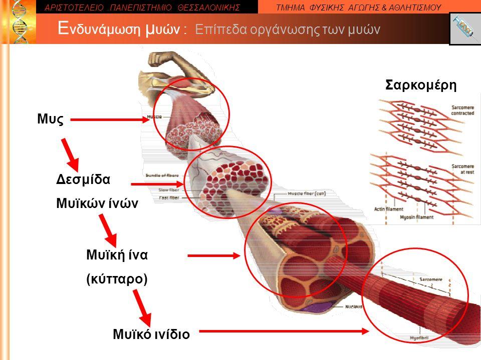 ΑΡΙΣΤΟΤΕΛΕΙΟ ΠΑΝΕΠΙΣΤΗΜΙΟ ΘΕΣΣΑΛΟΝΙΚΗΣΤΜΗΜΑ ΦΥΣΙΚΗΣ ΑΓΩΓΗΣ & ΑΘΛΗΤΙΣΜΟΥ Ε νδυνάμωση μ υών : Επίπεδα οργάνωσης των μυών Μυς Μυϊκή ίνα (κύτταρο) Μυϊκό ινίδιο Σαρκομέρη Δεσμίδα Μυϊκών ίνών
