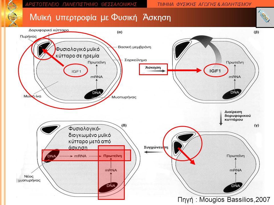 ΑΡΙΣΤΟΤΕΛΕΙΟ ΠΑΝΕΠΙΣΤΗΜΙΟ ΘΕΣΣΑΛΟΝΙΚΗΣΤΜΗΜΑ ΦΥΣΙΚΗΣ ΑΓΩΓΗΣ & ΑΘΛΗΤΙΣΜΟΥ Πηγή : Mougios Bassilios,2007 Μ υϊκή υ περτροφία μ ε Φ υσική Ά σκηση Φυσιολογικό μυϊκό κύτταρο σε ηρεμία Φυσιολογικό- διογκωμένο μυϊκό κύτταρο μετά από άσκηση