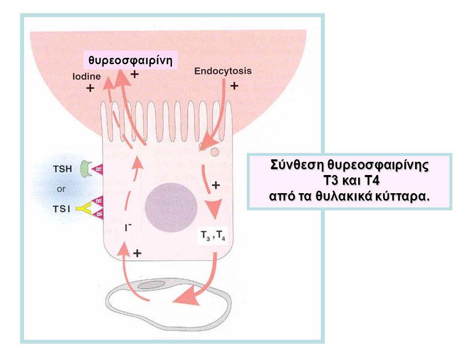 Σύνθεση θυρεοσφαιρίνης Τ3 και Τ4 Τ3 και Τ4 από τα θυλακικά κύτταρα. θυρεοσφαιρίνη