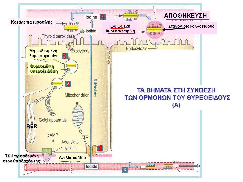 Κατάλειπα τυροσίνης Θυρεοειδικήυπεροξειδάση Μη ιωδιωμένη θυρεοσφαιρίνη θυρεοσφαιρίνη RER ΤΑ ΒΗΜΑΤΑ ΣΤΗ ΣΥΝΘΕΣΗ ΤΩΝ ΟΡΜΟΝΩΝ ΤΟΥ ΘΥΡΕΟΕΙΔΟΥΣ ΤΩΝ ΟΡΜΟΝΩΝ ΤΟΥ ΘΥΡΕΟΕΙΔΟΥΣ(Α) Αντλία ιωδίου TSH προσδεμένη στον ύποδοχέα της Ιωδιωμένη θυρεοσφαιρίνη ΑΠΟΘΗΚΕΥΣΗ Σταγονίδιο κολλοειδούς