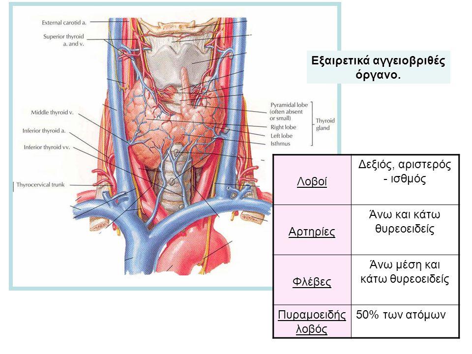 Λοβοί Δεξιός, αριστερός - ισθμόςΑρτηρίες Άνω και κάτω θυρεοειδείς Φλέβες Άνω μέση και κάτω θυρεοειδείς Πυραμοειδής λοβός 50% των ατόμων Εξαιρετικά αγγειοβριθές όργανο.