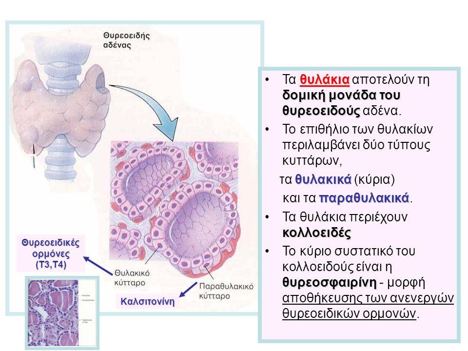 θυλάκια δομική μονάδα του θυρεοειδούςΤα θυλάκια αποτελούν τη δομική μονάδα του θυρεοειδούς αδένα.