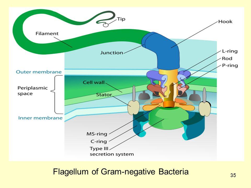 35 Flagellum of Gram-negative Bacteria