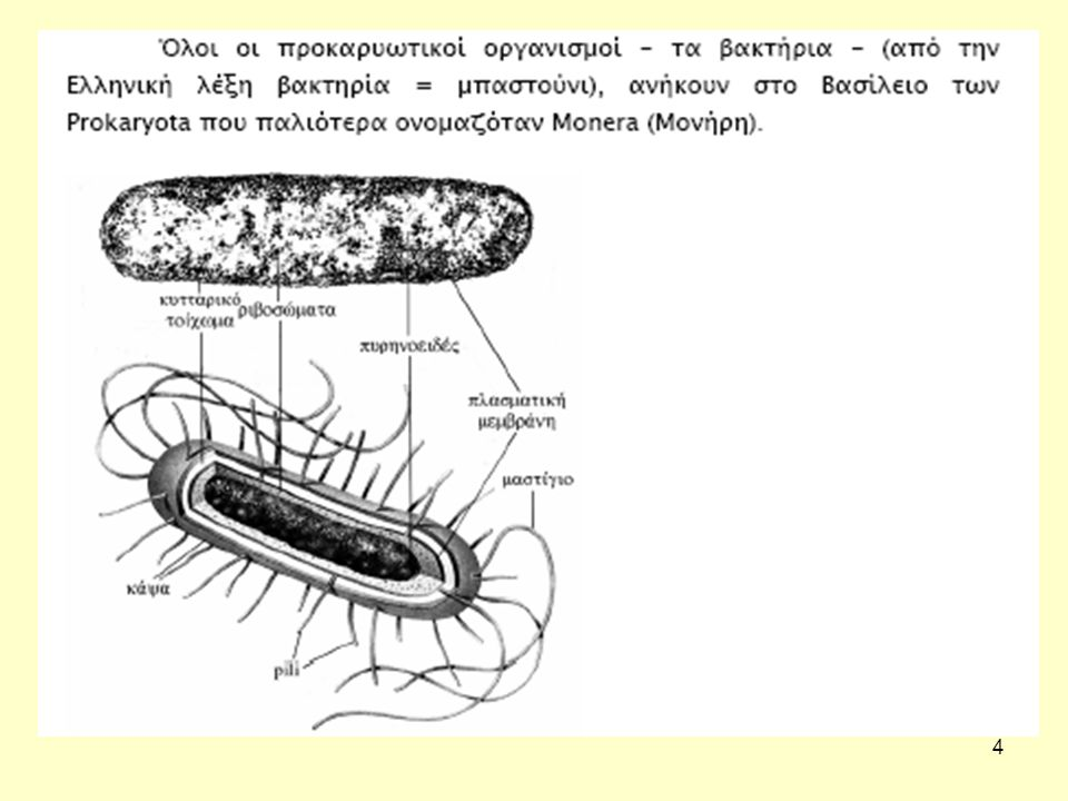 5 ΠΡΟΚΑΡΥΩΤΕΣ (Βακτήρια) Ευβακτήρια ή «Αληθή» βακτήρια – Ανθρώπινα παθογόνα – Κλινικά ή περιβαλλοντικά – Ένα βασίλειο –Πεπτιδογλυκάνη (μουρείνη): peptidoglycan (murein) –Mουραμικό οξύ (muramic acid) Αρχαία – Περιβαλλοντικοί μόνο οργανισμοί – Δεύτερο βασίλειο; –Ψευδομουρείνη (pseudomurein) –Δεν φέρουν μουραμικό οξύ (no muramic acid) –Διαφορές αλληλουχίας στο 16S rRNA
