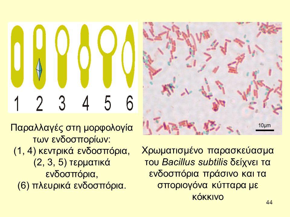 44 Παραλλαγές στη μορφολογία των ενδοσπορίων: (1, 4) κεντρικά ενδοσπόρια, (2, 3, 5) τερματικά ενδοσπόρια, (6) πλευρικά ενδοσπόρια. Χρωματισμένο παρασκ