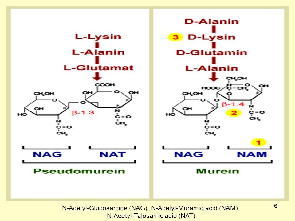 6 N-Acetyl-Glucosamine (NAG), N-Acetyl-Muramic acid (NAM), N-Acetyl-Talosamic acid (NAT)