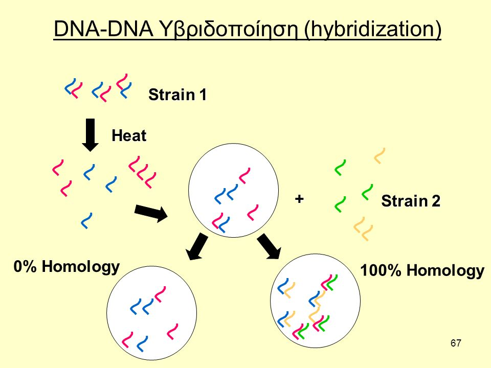 67 DNA-DNA Υβριδοποίηση (hybridization) 100% Homology + Heat 0% Homology Strain 1 Strain 2