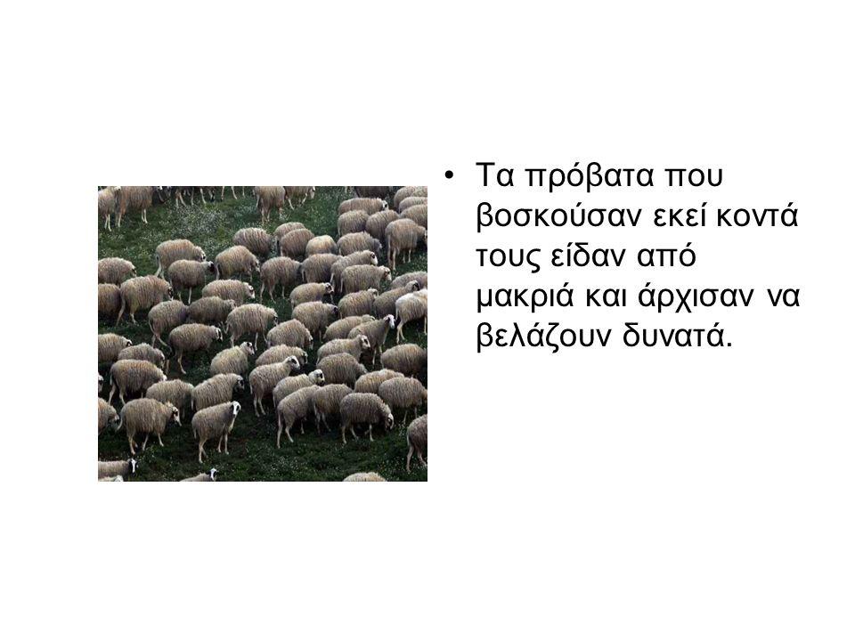 Τα πρόβατα που βοσκούσαν εκεί κοντά τους είδαν από μακριά και άρχισαν να βελάζουν δυνατά.