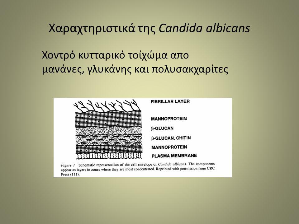 Χαραχτηριστικά της Candida albicans Χοντρό κυτταρικό τοίχώμα απο μανάνες, γλυκάνης και πολυσακχαρίτες