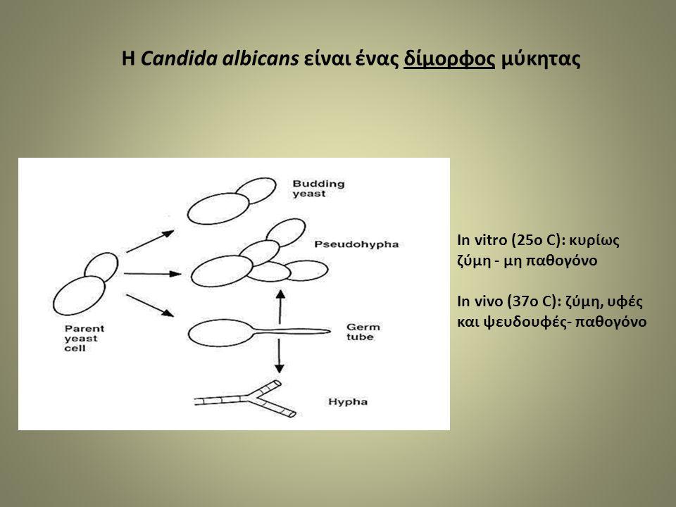 In vitro (25o C): κυρίως ζύμη - μη παθογόνο In vivo (37o C): ζύμη, υφές και ψευδουφές- παθογόνο Η Candida albicans είναι ένας δίμορφος μύκητας