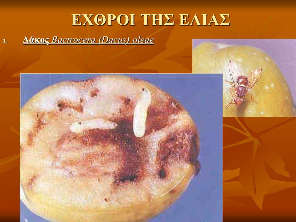 ΕΧΘΡΟΙ ΤΗΣ ΕΛΙΑΣ 1. Δάκος Bactrocera (Dacus) oleae