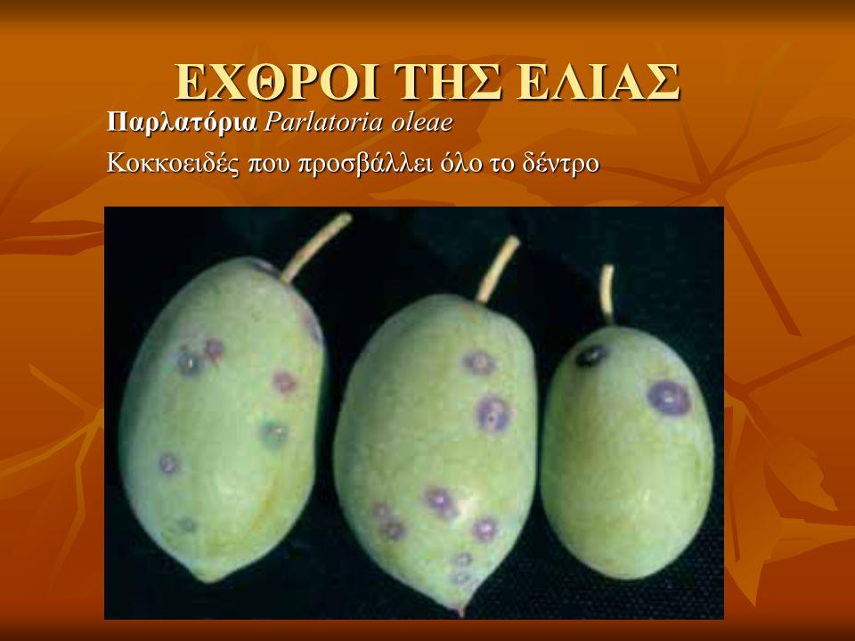 ΕΧΘΡΟΙ ΤΗΣ ΕΛΙΑΣ Παρλατόρια Parlatoria oleae Κοκκοειδές που προσβάλλει όλο το δέντρο