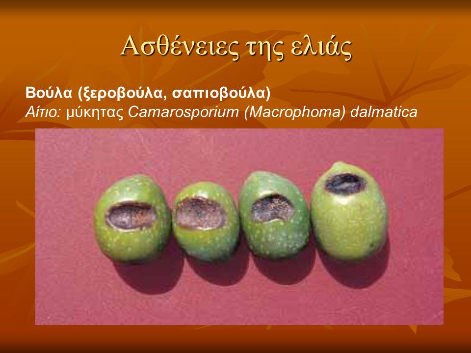 Ασθένειες της ελιάς Βούλα (ξεροβούλα, σαπιοβούλα) Αίτιο: μύκητας Camarosporium (Macrophoma) dalmatica