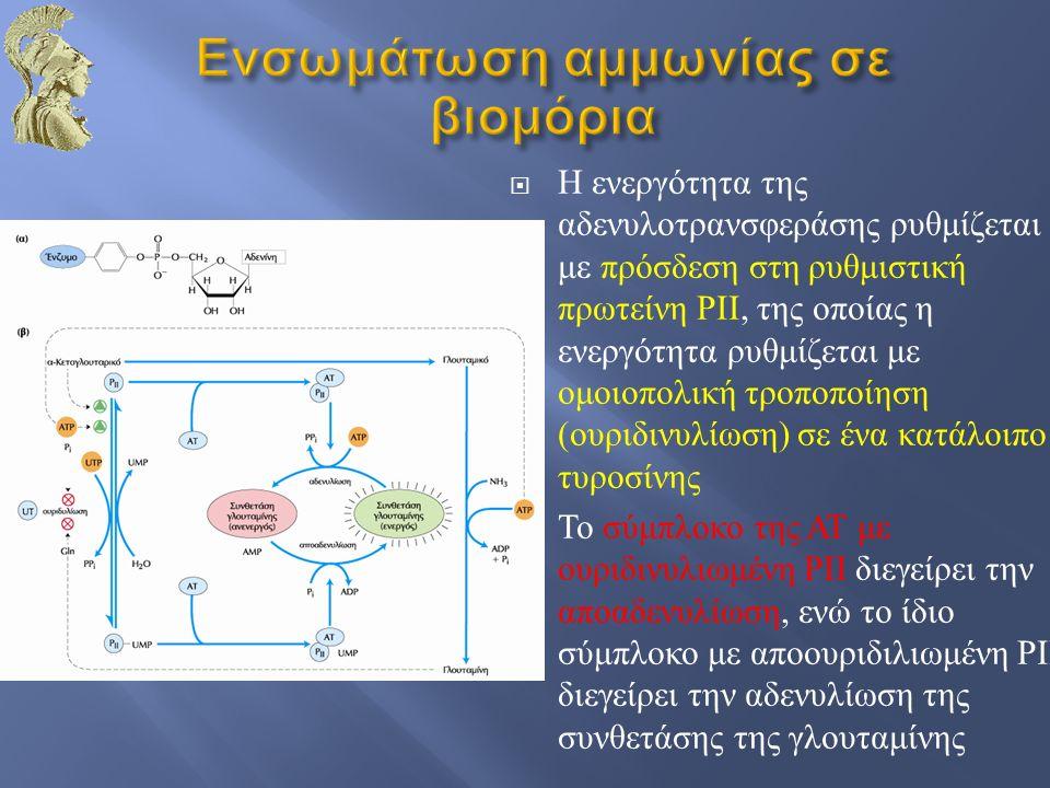  Η ενεργότητα της αδενυλοτρανσφεράσης ρυθμίζεται με πρόσδεση στη ρυθμιστική πρωτείνη ΡΙΙ, της οποίας η ενεργότητα ρυθμίζεται με ομοιοπολική τροποποίηση ( ουριδινυλίωση ) σε ένα κατάλοιπο τυροσίνης  Το σύμπλοκο της ΑΤ με ουριδινυλιωμένη ΡΙΙ διεγείρει την αποαδενυλίωση, ενώ το ίδιο σύμπλοκο με αποουριδιλιωμένη ΡΙΙ διεγείρει την αδενυλίωση της συνθετάσης της γλουταμίνης