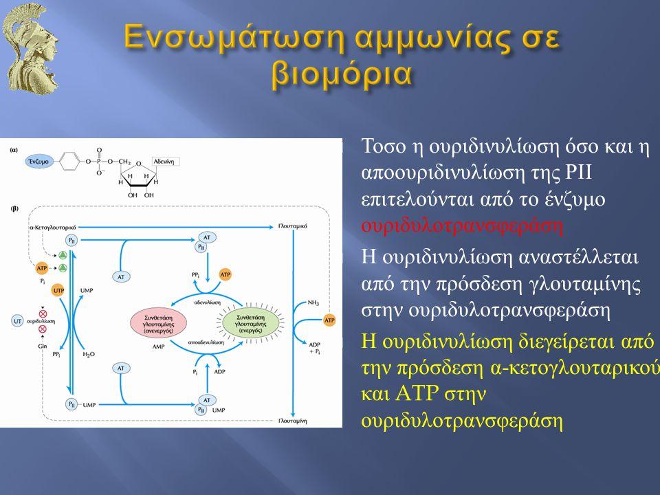  Τοσο η ουριδινυλίωση όσο και η αποουριδινυλίωση της ΡΙΙ επιτελούνται από το ένζυμο ουριδυλοτρανσφεράση  Η ουριδινυλίωση αναστέλλεται από την πρόσδε