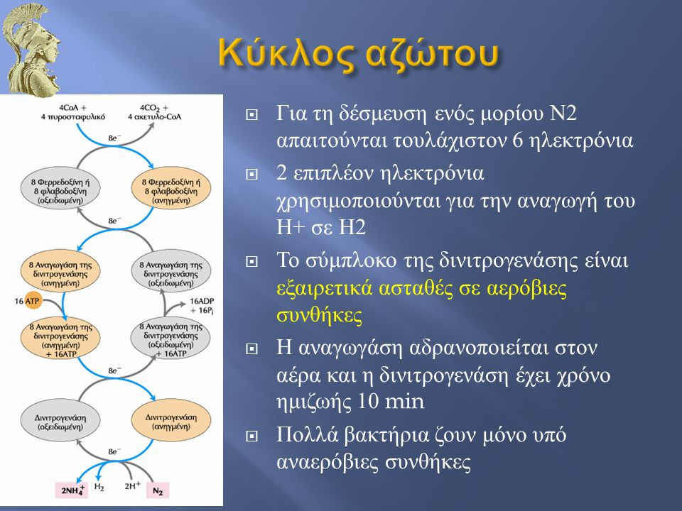  Για τη δέσμευση ενός μορίου Ν 2 απαιτούνται τουλάχιστον 6 ηλεκτρόνια  2 επιπλέον ηλεκτρόνια χρησιμοποιούνται για την αναγωγή του Η + σε Η 2  Το σύμπλοκο της δινιτρογενάσης είναι εξαιρετικά ασταθές σε αερόβιες συνθήκες  Η αναγωγάση αδρανοποιείται στον αέρα και η δινιτρογενάση έχει χρόνο ημιζωής 10 min  Πολλά βακτήρια ζουν μόνο υπό αναερόβιες συνθήκες